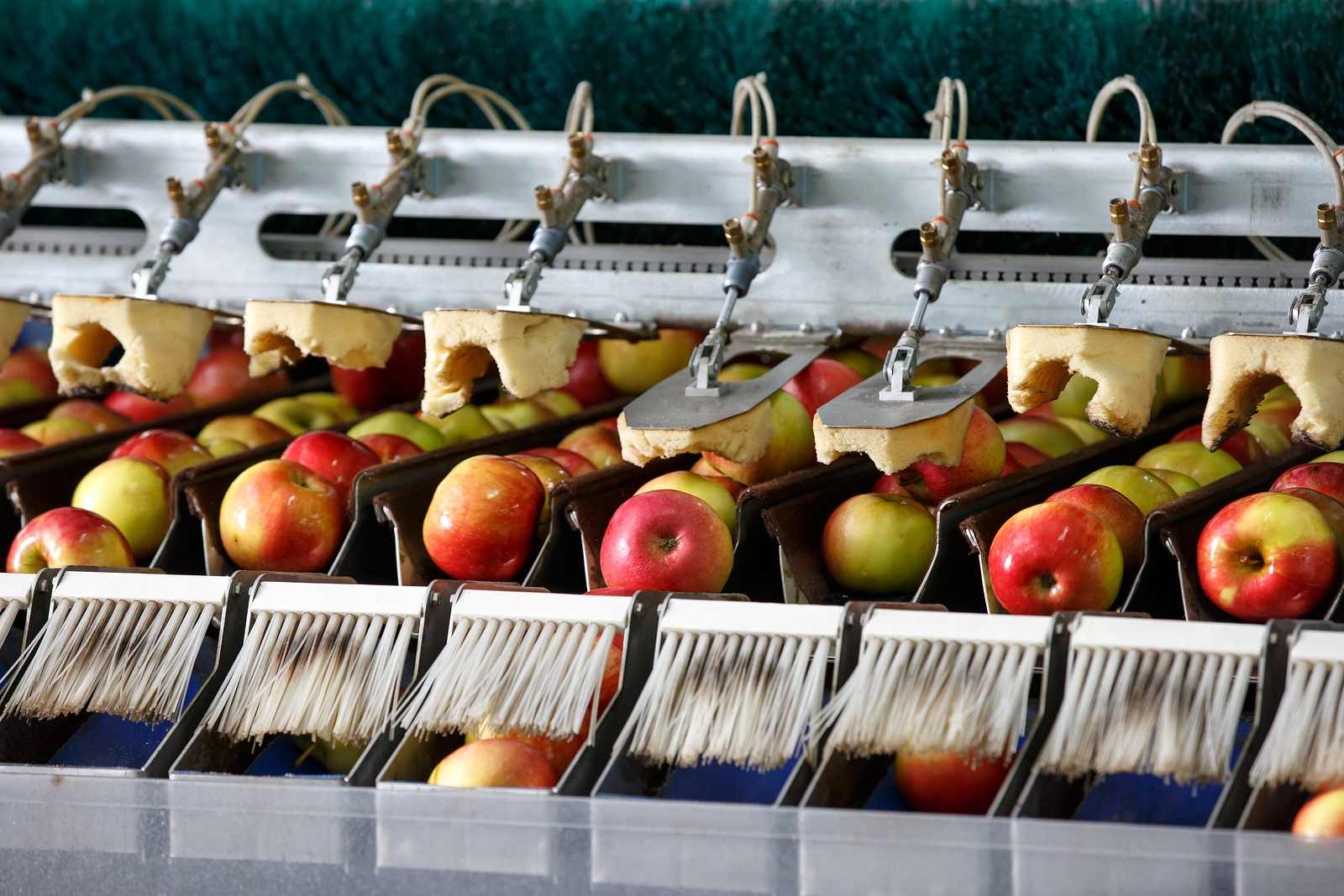 apples being washed in a factory