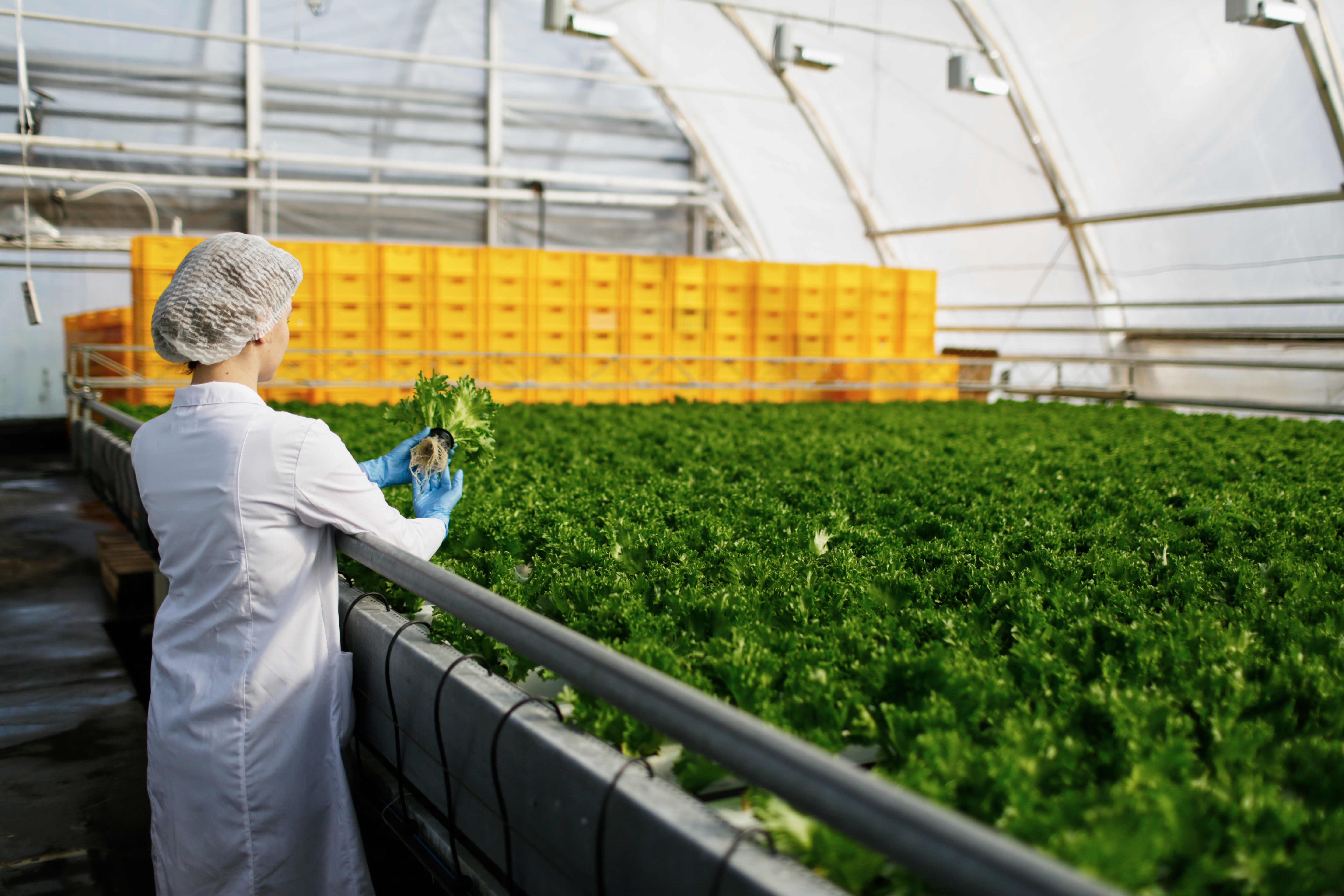 woman inspecting product in indoor lettuce growing facility