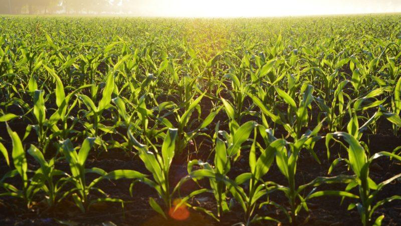 cornfield-800x450