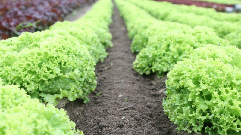lettuce row crops